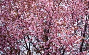 cherry-blossom-0078